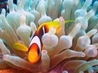 Poisson clown et anemone