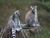 les lemuriens
