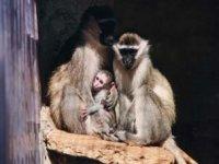 Bébé macaques