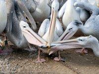 Pélicans à dos rosé