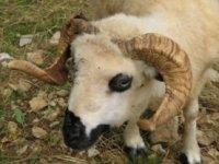 Mouton Thône