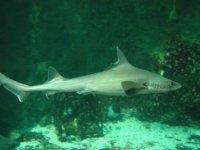 Le requin émissole