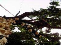 Masques de platre sur arbre
