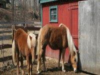 Les chevaux de l elevage du Riol