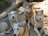 Quelques chiens de notre meute