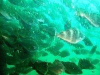 Nage au milieu d un banc de poissons.JPG