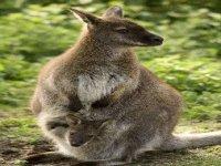 Wallabies australiens