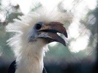 Berenicornis comatus