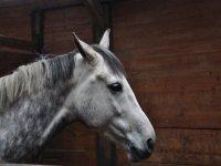 Cheval de la cavalerie du club de Brette