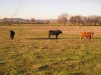 Les taureaux espagnols