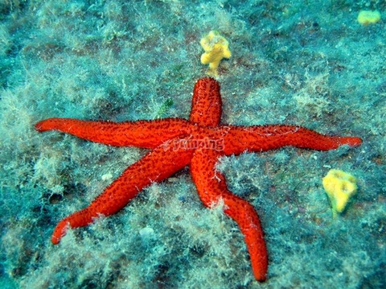 Poseidon etoile de mer