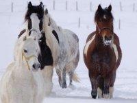 chevaux dans la neige