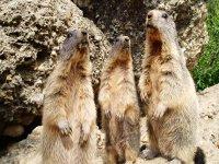 Randonnee Affut Chamois et Marmottes