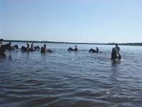 Baignade avec les chevaux