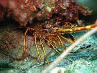 homard maldive