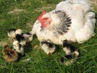 Les poules et poussins