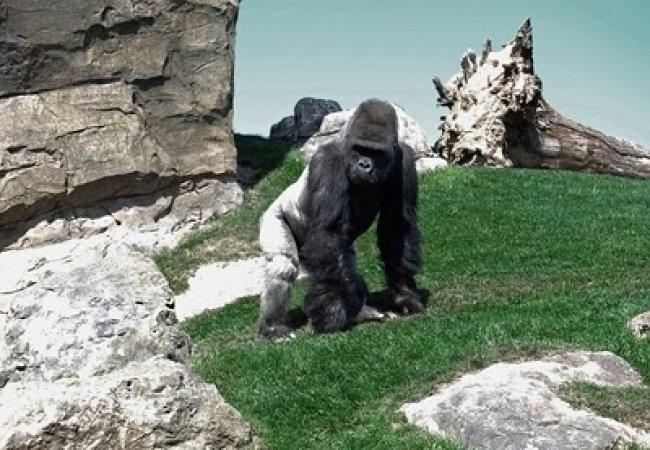Gorille bicolore