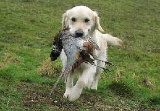 Chien de chasse ramène gibier
